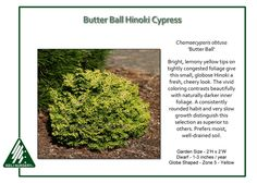 Butter Ball Hinoki Cypress Bright, lemony yellow tips on tightly congested foliage give the small, globe-shapedChamaecyparis obtusa 'Butter Ball'a fresh, cheery look. The vivid coloring contrasts…