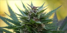 QUIZ: How Well Can You Grow Cannabis?