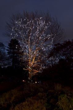 Designed by light artist Malcolm Innes, RBGE's champion champion poplar tree has been festooned with a mix of uplighting and sparkling lights for the festive season.