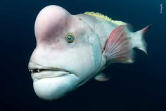 Big Head (Tony Wu - Mature male Asian sheepshead wrasse Highly Commended Animal Portraits category in the Wildlife Photographer of the Year Fast Crazy Nature Deals. Especie Animal, Deep Sea Creatures, Weird Creatures, Wild Dogs, History Museum, Wild Life, Ocean Life, Small World, Nature Pictures