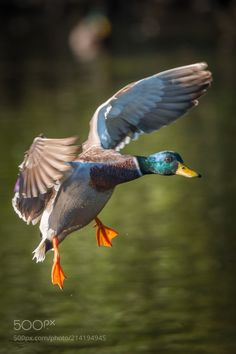 Duck by Bockie via http://ift.tt/2qBCGe7