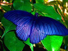 BLUE WINGS on a butterfly.