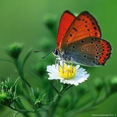 orange butterfly..alighted on white flower yellow center...