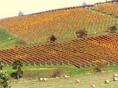Autumn vineyard from a distance