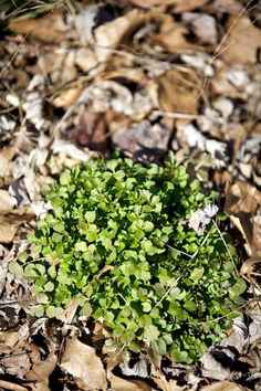 Bittercress - this weed is everywhere in my yard.  Turns out, it is edible.