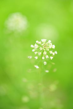 wildflowers. tiny. white. field. brilliant. green.