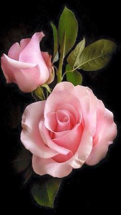 A stunning rose bloom Amazing Flowers, My Flower, Beautiful Roses, Pink Flowers, Beautiful Flowers, Pink Rose Flower, Colorful Roses, June Flower, Peony Rose
