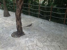 One of our little friends walking around the resort.