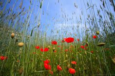 I love poppies!  They don't bloom for long but they are the most lovely flower ever.  Photo by Carlo Bezoari