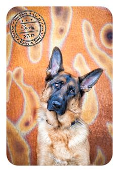 Beautiful German Shepherd poses in front of some stunning doors in Kirkland, WA for Bailey & Banjo's Dog-A-Day for Canine Cancer project.