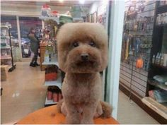 Taiwanese Pet Groomers Give Haircuts to Small Dogs to Make Their Heads Appear Perfectly Square or Round : http://laughingsquid.com/taiwanese-pet-groomers-give-haircuts-to-small-dogs-to-make-their-heads-appear-perfectly-square-or-round
