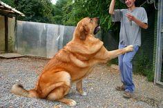 Spanish Mastiff Livestock Guardian Dog All Farms Should Be So Lucky Spanish Mastiff Livestock Guardian Dog Large Dog Breeds