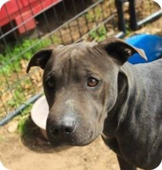 Weatherford, TX - Pit Bull Terrier/Shar Pei Mix. Meet Kayla a Dog for Adoption. She's listening for the call from her new forever family. A loving dog, ready to make you a great companion.  This is a kill shelter. 817-598-4111