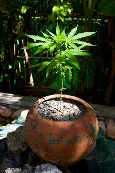 cannabis lovers #The best seeds #http://www.spliffseeds.nl/silver-line/blue-berry-seeds.html #marijuana #marihuana #seeds #best #flavor