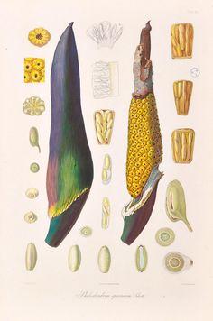 Icones Aroidearum, - Biodiversity Heritage Library