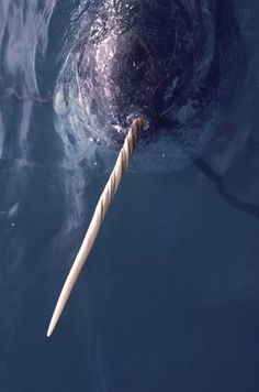 Wildlife Extra News - Narwhal tracking project helps chart whale's ...
