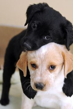The black puppy looks so intelligent giving the other one a cuddle ❤❤ I love dogs so much. Le ig et le iang