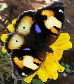 Yellow pansy butterfly (Male)@@
