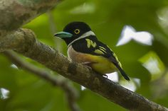 The black-and-yellow broadbill (Eurylaimus ochromalus) is a species of bird in the Eurylaimidae family. It is found in Brunei, Indonesia, Malaysia, Myanmar, Singapore, and Thailand. Its natural habitats are subtropical or tropical moist lowland forests and subtropical or tropical moist montane forests. It is threatened by habitat loss. - Wikipedia, the free encyclopedia