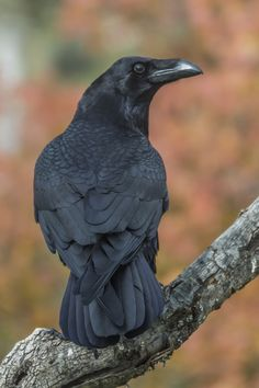 Corvus corax by Fernando Sanchez de Castro on 500px