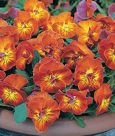 Viola, Amber Kiss Bold color and knock-out fragrance! lifecycle: Annual Uses: Beds, Container Sun: Full Sun, Part Sun Height: 8-10 inches Spread: 6 inches Sowing Method: Indoor Sow Bloom Duration: 10 weeks