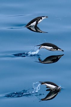 Penguin flying through the water