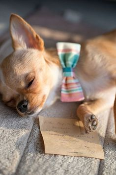 Chihuahua Puppy Dog Puppies Dogs Pup Get him a chihuahua #Chihuahua