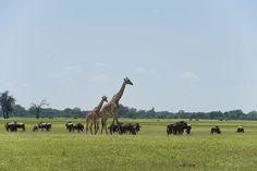 Giraffe and friends, Hwange National Park