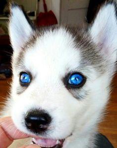 Alaskan Husky Puppie..wish i had those eys