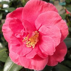 Camellia japonica Guillo Nuccio: Flowers large, semi-double, bright salmon-red, mustard stamens, February to May. Ht.2mt.(6ft.). Grow in sun or part shade and moist, fertile...