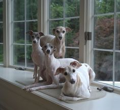 So sweet! A happy little Italian Greyhound family.