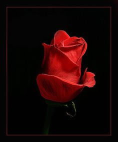 Cvece i Romantika - Strana 3 Lady In Red, Red Roses, Beautiful Pictures, Google, Photos, Black, Flowers, Madame Red, Pictures