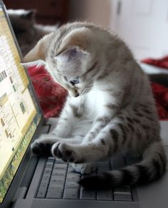 kitten on the keyboard