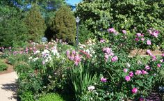 Peak bloom for roses is in May and June.