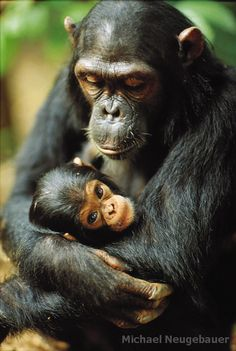 Gombe chimpanzee Fanni cradles her newborn, Fax.  Baby chimpanzees are almost always in physical contact with their mother in their natural habitat.  This is the 'face' of true love.