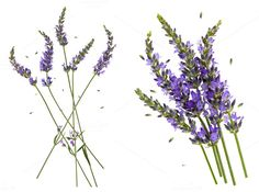 Lavender flowers by LiliGraphie on @creativemarket
