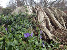 tree stump blue purple flowers