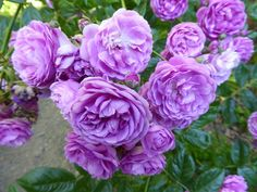 (102) The Friends of Vintage Roses