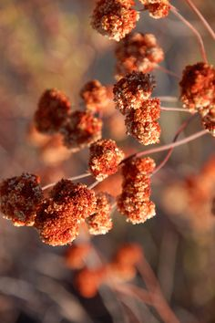 """Wild Buckwheat. Foraged when dry to make wild breads more """"fluffy""""."""