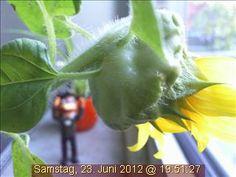 Die Webcam-Sonnenblume altert zusehends. Sie wünscht sich nur noch eins: das EM-Finale mit einem Sieg der deutschen Elf miterleben zu dürfen.