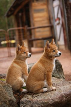 Dingoes are naturally shy with a wild and independent nature, behaving more like cats than domestic dogs