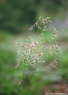 Storfryle (Luzula sylvatica)