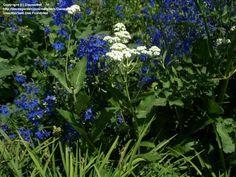 Wild Quinine, American FeverfewParthenium integrifolium