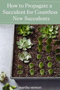 Baby Succulents, Propagating Succulents, Planting Succulents, Flowering Succulents, Plant Propagation, Succulent Outdoor, Succulent Gardening, Container Gardening, Little Gardens