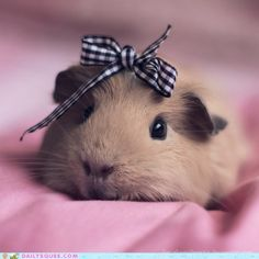 Guinea Pig Names – There are few pets as cute and cuddly as a guinea pig, so we totally understand your excitement if you are in the process of getting one. Guinea pigs are becoming an increa… Cute Baby Animals, Funny Animals, Guniea Pig, Baby Guinea Pigs, Cute Piggies, Tier Fotos, Little Pigs, Cute Creatures, Animal Photography