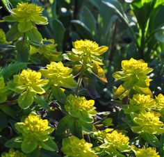 """'Fugly"""" enough to cut back afterwards. Great choice to put with daffodils! Growing Flowers, Planting Flowers, Pretty Flowers, Purple Flowers, Starting A Garden, Heuchera, Private Garden, Back Gardens"""
