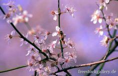 Kirschblüten - Retro Farben