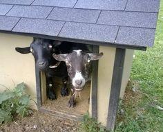Rikki's Refuge Goats and Sheep #116 www.rikkisrefuge.org JOEY and JESSE!