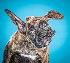 Ганс, 12-недельный щенок, стряхивает воду с шерсти. Пёсик стал одним из героев фотоальбома, иллюстрирующего, насколько забавно выглядят мокрые животные.