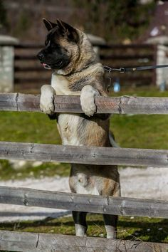 """Click visit site and Check out Cool """"Akita Dog"""" T-Shirts & Hoodies. This website is superb.  Tip: You can type """"your first name"""" or """"your favorite shirts""""  by using search bar on the header.   #akita"""